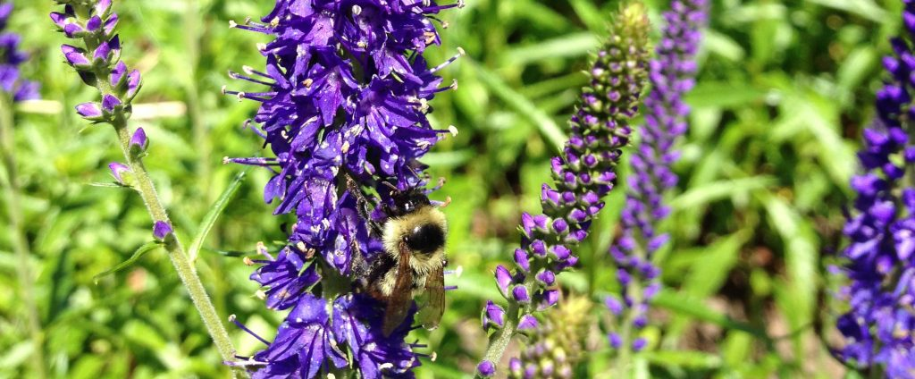 lavender-bee-cu1